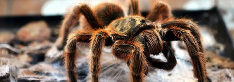 tarantula body language