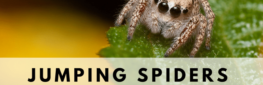 Jumping Spider: How To Care For Phidippus Audax - Tarantula Heaven