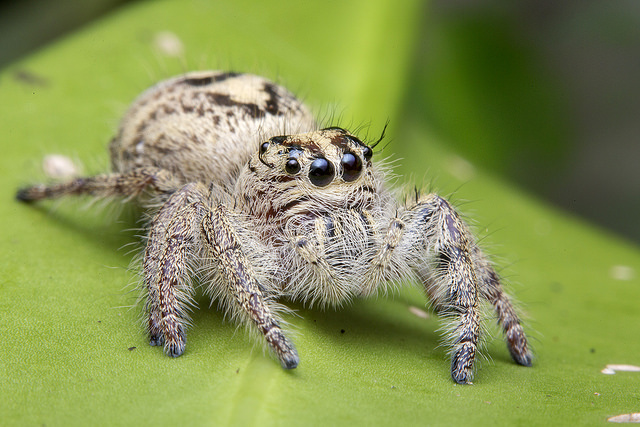 Jumping Spider How To Care For Phidippus Audax Tarantula Heaven
