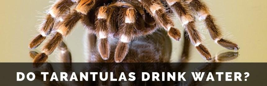 Do spiders drink water? These videos reveal a tarantula's sneakiest habit
