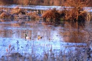 Mallards on the pond