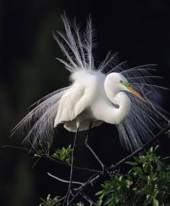 Great Egret photographed at Tara