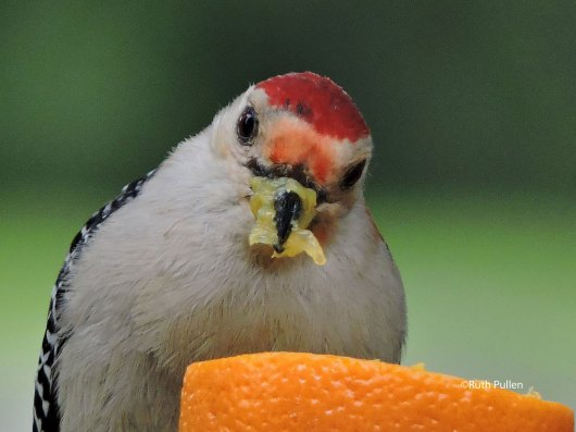 Red-bellied woodpecker, photo by Ruth Pullen