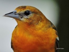 Juvenile Male Baltimore Oriole, photo by Ruth Pullen