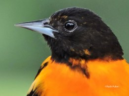 Male Baltimore Oriole, Photo by Ruth Pullen