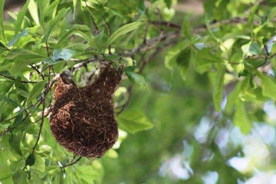 Baltimore Oriole nest in the Tara Native Plant Garden