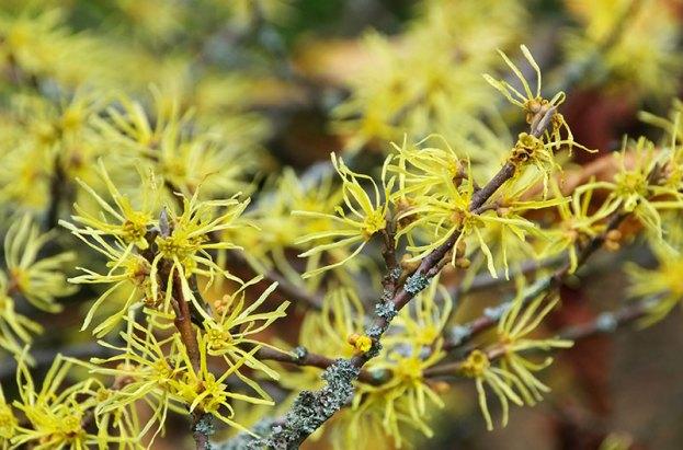 Witch hazel flowers (Hamamelis virginiana)
