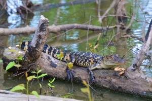 Young alligator spotted on a bird walk
