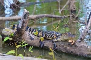 Baby alligator photographed at Tara Wildlife
