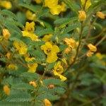 Partridge pea flowers