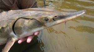 Gulf sturgeon (Acipenser oxyrinchus desotoi) Photo credit: Kayla Kimmel, USFWS