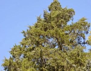 Top of an eastern red cedar tree