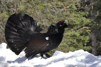 La chasse au Grand Tétras ou Coq de Bruyère interdite par la justice en Hautes Pyrénées