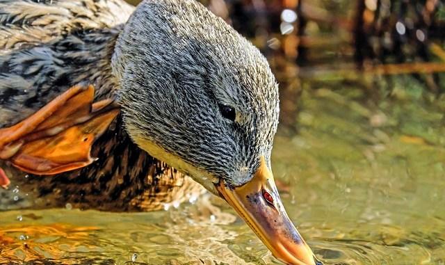 Un foyer de grippe aviaire hautement pathogène le sud ouest en alerte