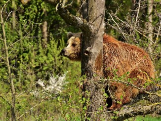 la réintroduction de l'ours