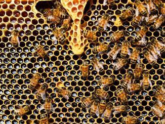 Depuis 2013, un moratoire de l'Union européenne (UE) impose des restrictions à l'usage de trois néonicotinoïdes jugés nocifs pour les abeilles dans les cultures prisées de ces insectes. Cependant, des chercheurs du CNRS, de l'Inra et de l'Institut de l'abeille (ITSAP) viennent de montrer que des résidus de ces insecticides, notamment l'imidaclopride, restent détectables dans le nectar de colza de 48 % des parcelles étudiées, avec d'importantes variations selon les années. L'évaluation du risque pour les abeilles, basée sur les modèles et paramètres des agences sanitaires, a montré que 3 années sur 5, jusqu'à 12 % des parcelles présentaient une contamination pouvant entrainer la mort de 50 % des abeilles et bourdons les visitant.