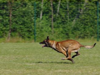 De Tarbes, le chien Néo en opération de gendarmerie en Ariège