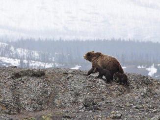 Où se trouvent les 52 ours des Pyrénées