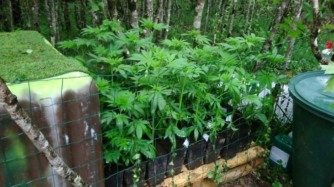 Les plants de cannabis étaient cachés en forêt mais sous videosurveillance