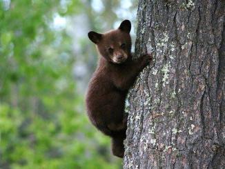 Une pétition recueille 50 000 signatures contre l'effarouchement de l'ours