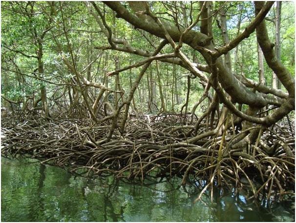 ज्वारीय वन अथवा मैंग्रोव वन