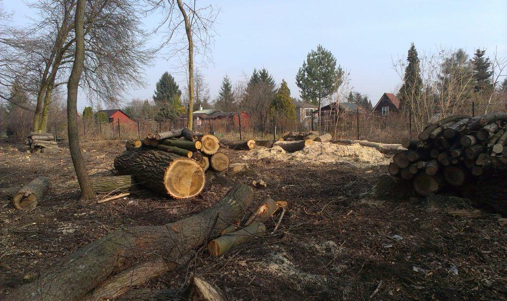 Dlaczego W Lesie Bródnowskim Są Wycinane Tysiące Drzew