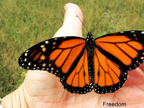 freedom_butterfly