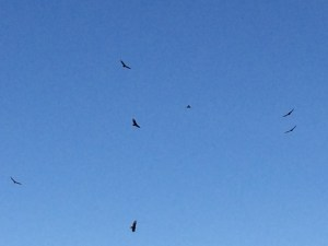 Buzzards either circling breakfast or just riding the thermal waves.