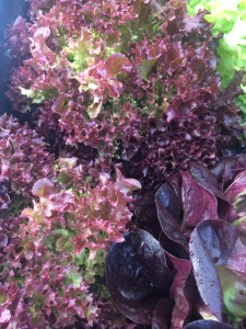 Red Lettuce at Phoenix Farms.