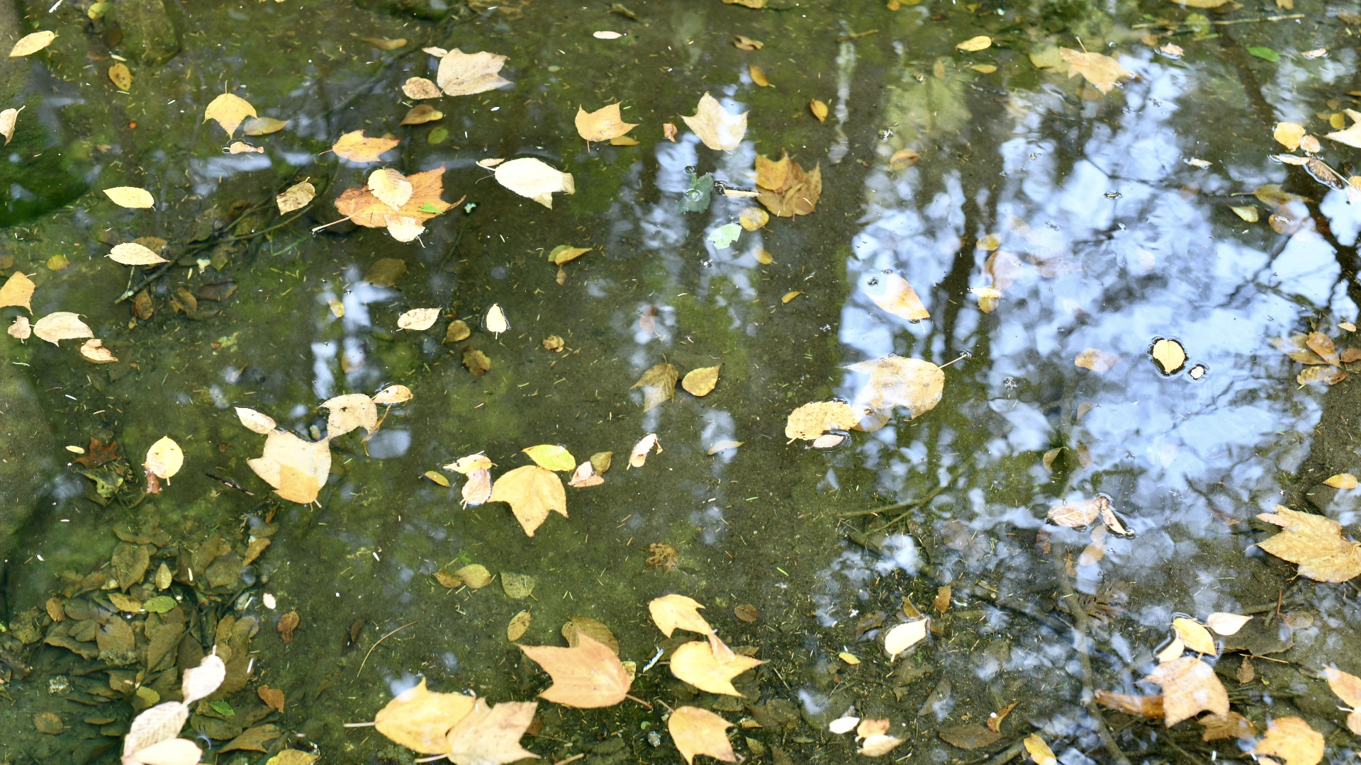 A scattering of yellow autumn leaves floating in water with tree reflections. 2021. Taryn Okesson. Digital Photography. White Mountain National Forest, New Hampshire.
