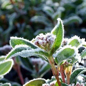 Morning Frost on the Plants