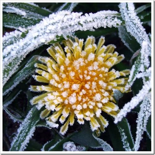 Frosty Dandelion_01