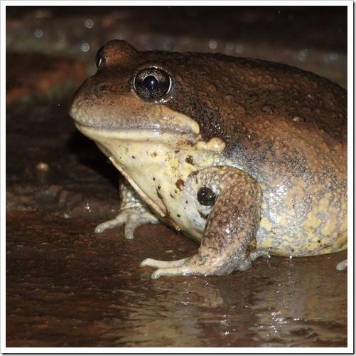 Walcha Frog_01