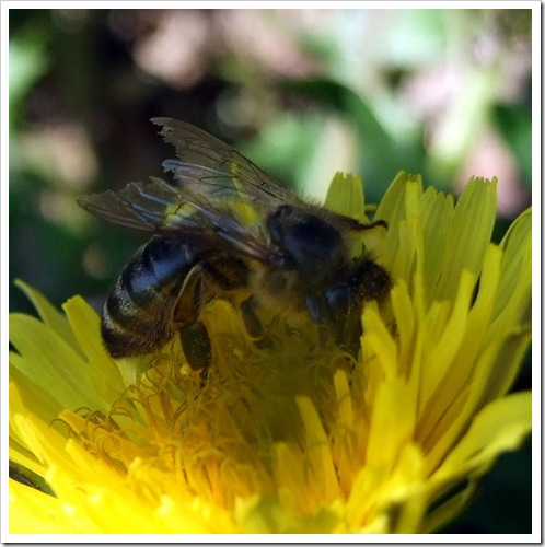 Bee on Yellow Flower_01
