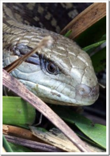 Blue Tongue Lizard_01
