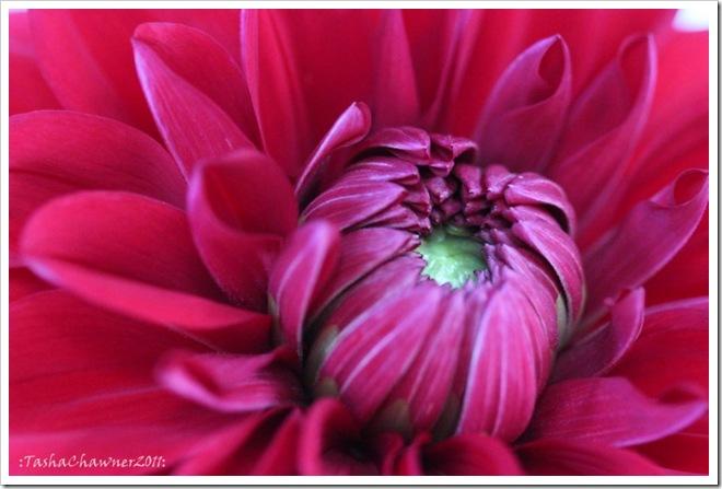 Day 49 - Jen's Red Flower