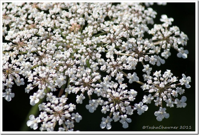 Day 75 - Queen Annes Lace