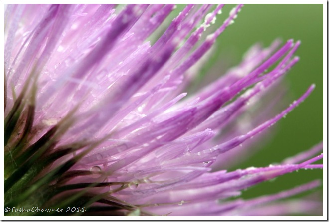 Day 76 - Thistle Flower