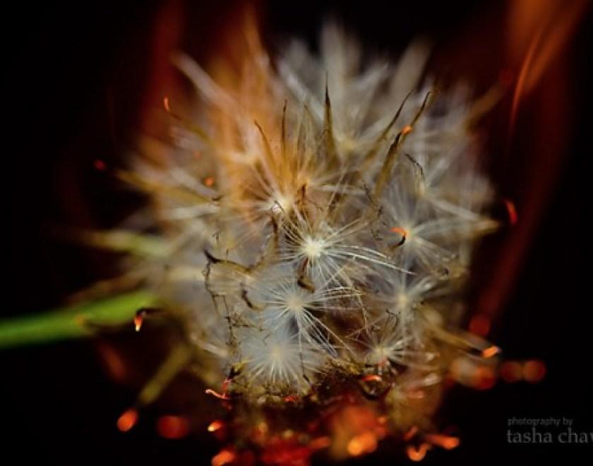 Dandelion Fire.3