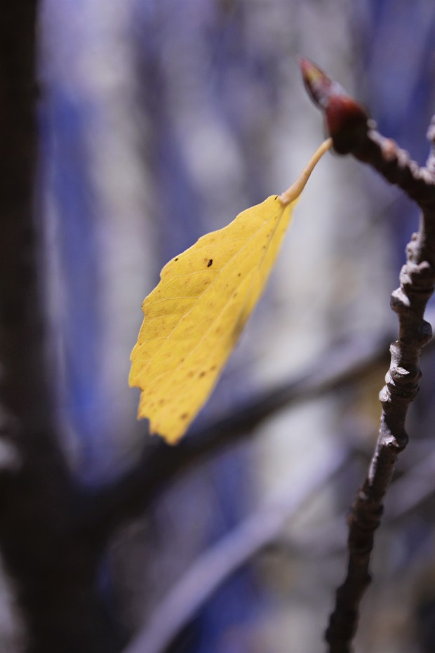 yellow-leaf