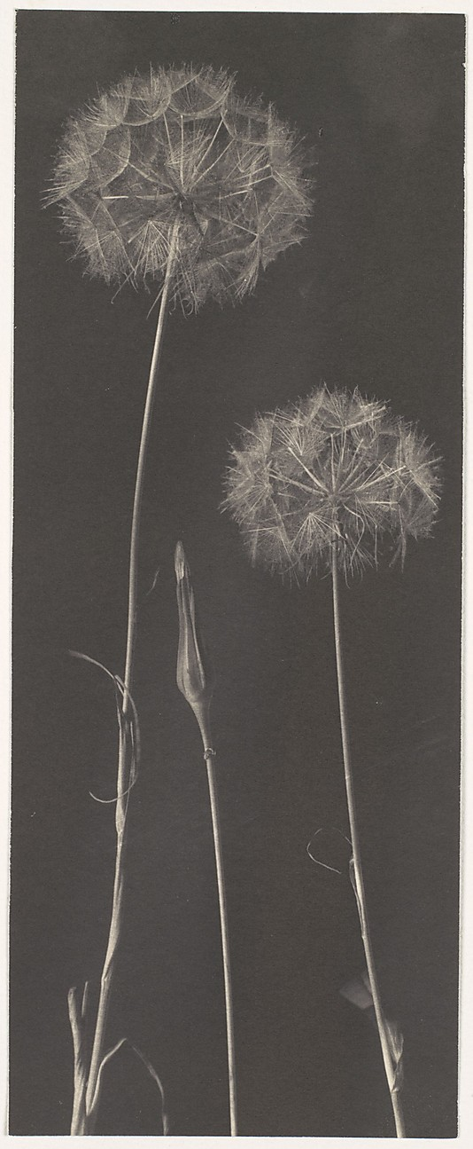dandelions were a favourite subject even way back when - Dandelions by Frederick H. Evans