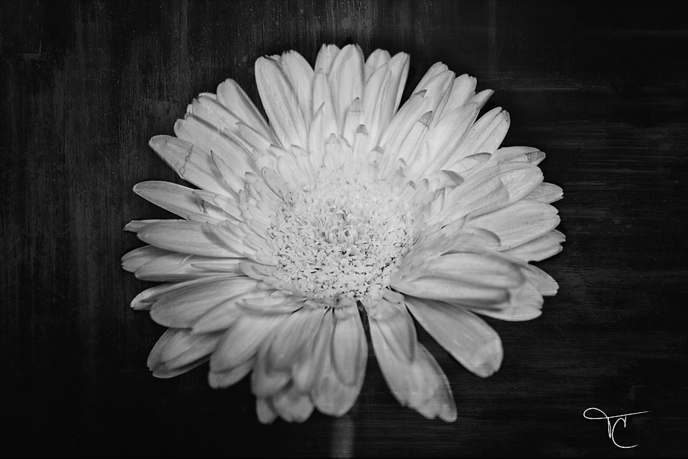 gerbera-black-and-white