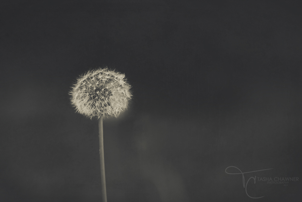 dandelion-wordless-wednesday copy