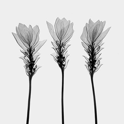 Siam+Tulips+(Curcuma+alismotfolia)