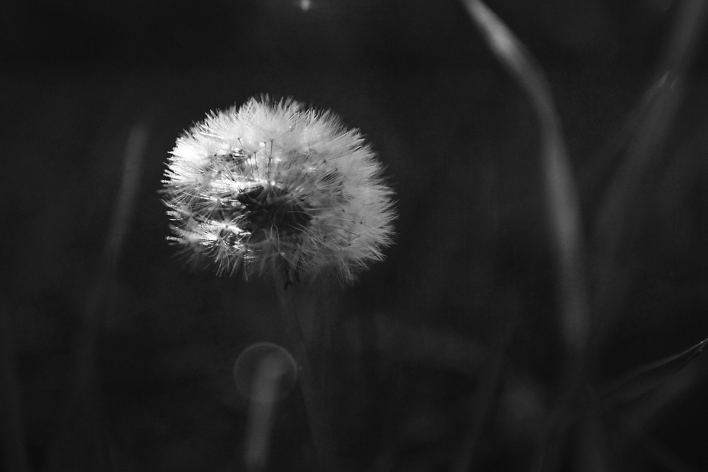 dandelions are an eternal source of photographic pleasure for me