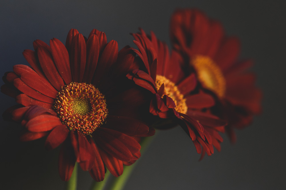 three dark and moody red gerberas