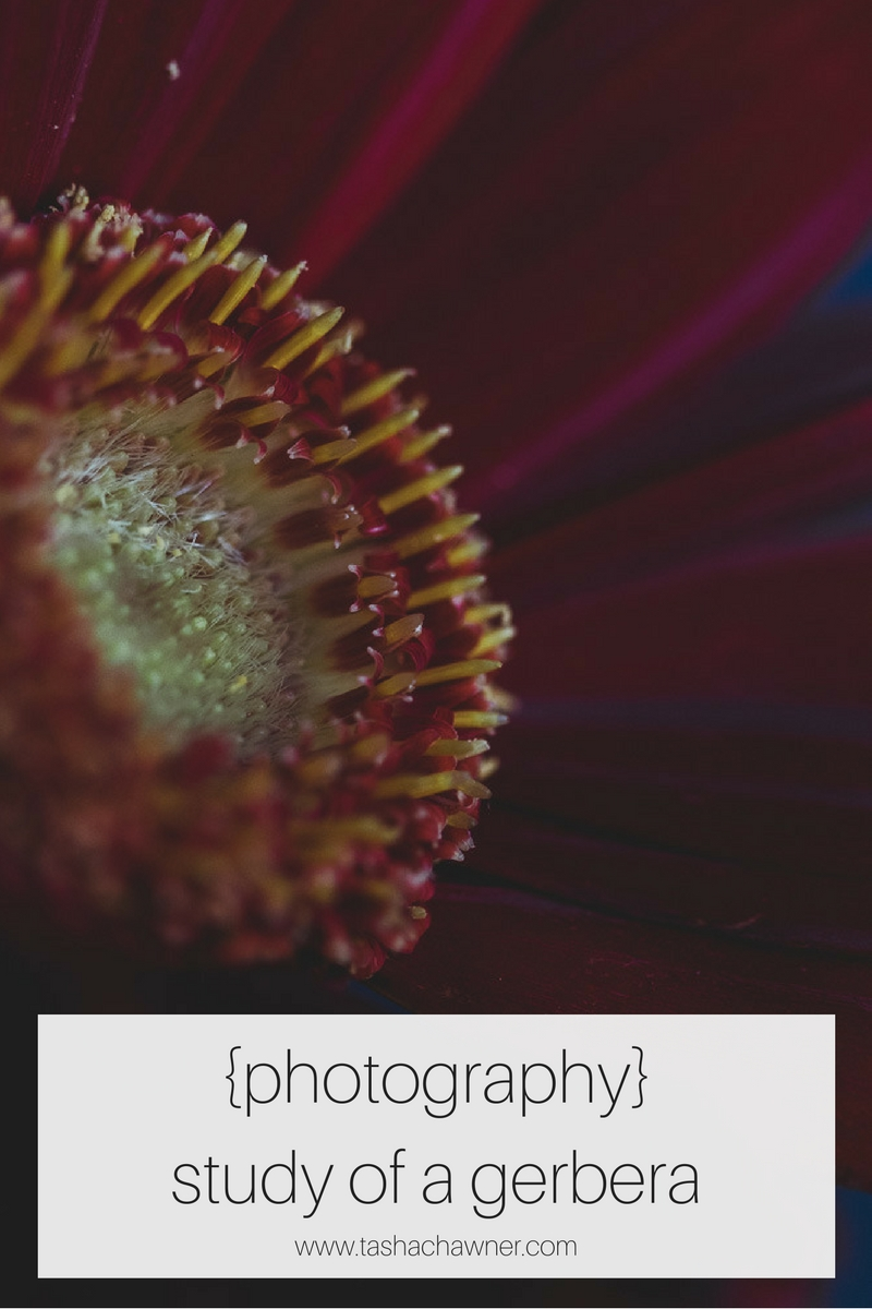 gerbera-flower-photography-study-tasha-chawner
