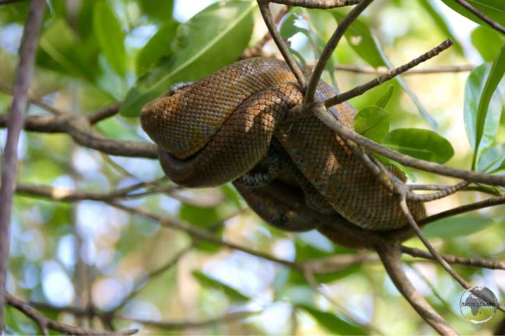 A sleeping tree Boa in Caroni Bird Sanctuary. Once connected to South America, Trinidad is home to the same wildlife which is found on the nearby mainland.