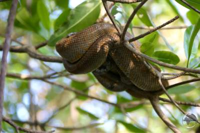 A close up view of a sleeping Tree Boa in the Caroni Bird Sanctuary.