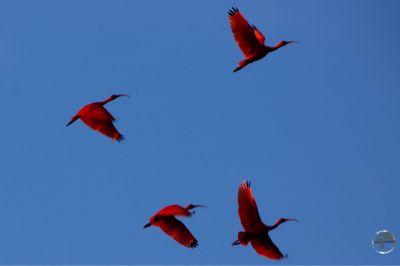 The national bird of Trinidad & Tobago, the Scarlet Ibis, at Caroni Bird Sanctuary.